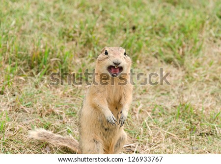 a curious and suspicious prairie dog standing in green grass  and screaming - stock photo