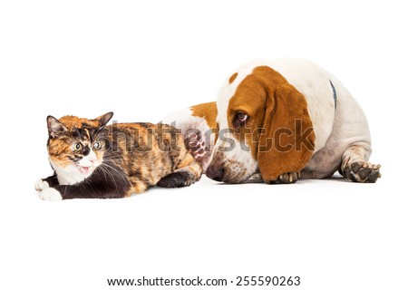 A curious Basset Hound Dog laying next to an angry Calico cat - stock photo