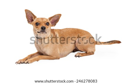 A curious Chihuahua Mix Breed Dog laying at an angle while looking up. - stock photo