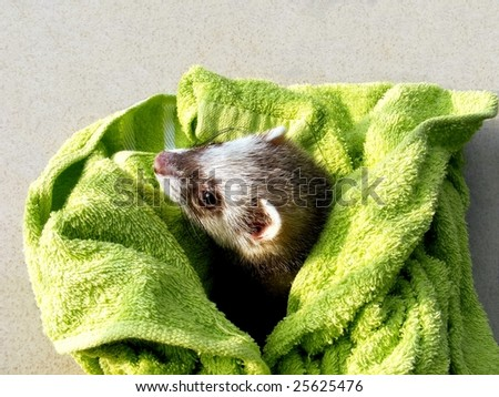 a curious ferret after bath watching around in the sunshine - stock photo