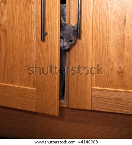 A curious grey kitten poking his head out of a cupboard door. - stock photo