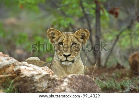 A Curious Lion Cub in famous Kruger National Park - stock photo
