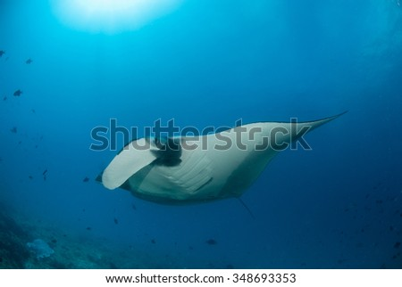 A curious manta ray swimming low to the reef  over a cleaning station in very blue water - stock photo