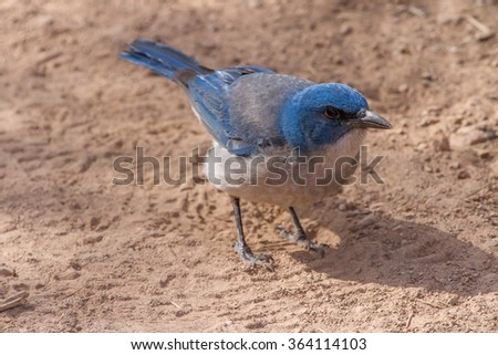 A curious Mexican Jay in Big Bend National Park, Texas, USA - stock photo