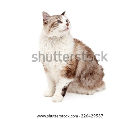 A curious Ragdoll Cat sitting at angle looking up and over to the side.   - stock photo