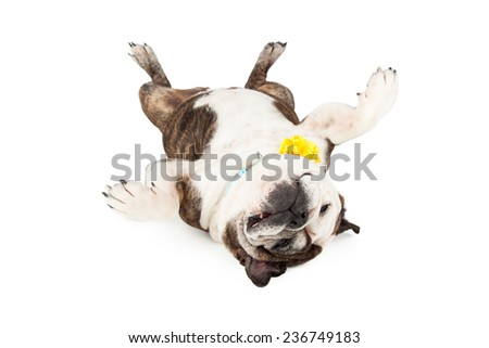A cute and funny English Bulldog laying on her back with legs in the air - stock photo