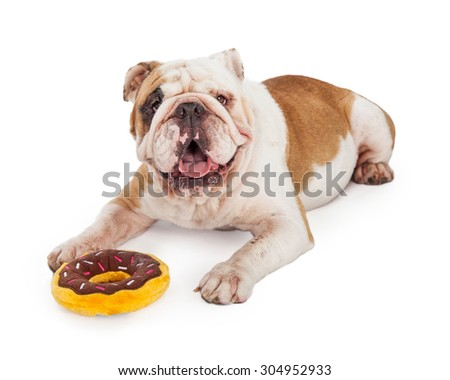 A cute and happy Bulldog laying with a frisbee plush toy - stock photo