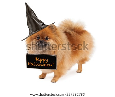A cute and happy Pomeranian dog wearing a black witch hat and holding a chalkboard sign with the words Happy Halloween - stock photo