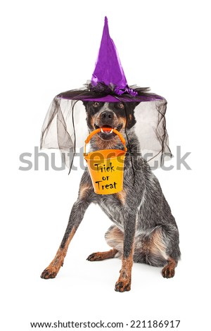 A cute Australian Cattle dog sitting while wearing a witch hat as a Halloween costume and holding a an orange trick-or-treat bucket n his mouth - stock photo
