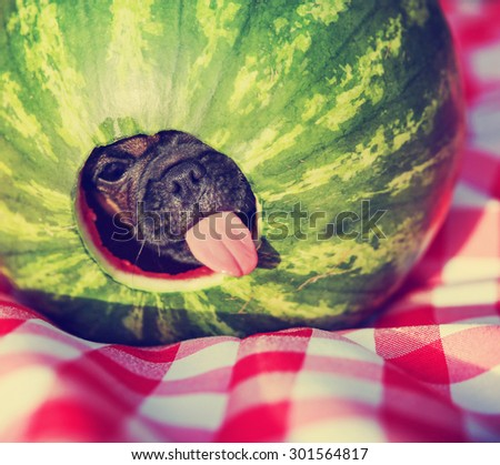 a cute baby pug chihuahua mix puppy looking out of hole cut into a watermelon and licking around the edge during summer - stock photo