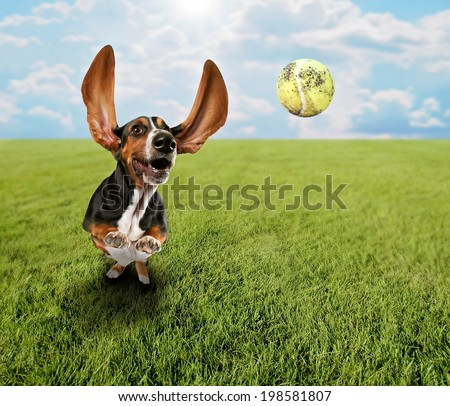 a cute basset hound chasing a tennis ball in a park or yard on the grass - stock photo