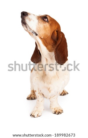 A cute Basset Hound dog with drool on his mouth while sitting forward and looking up and to the side - stock photo