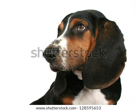 a cute basset hound puppy - stock photo