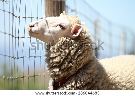 A cute beautiful sheep. soft-focused. looking for freedom. - stock photo