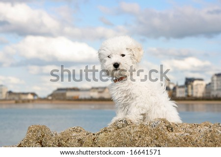 A cute bichon frise puppy at the sea - stock photo