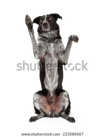 A cute black and grey color Border Collie dog sitting up on his hind legs and raising his paws to beg - stock photo