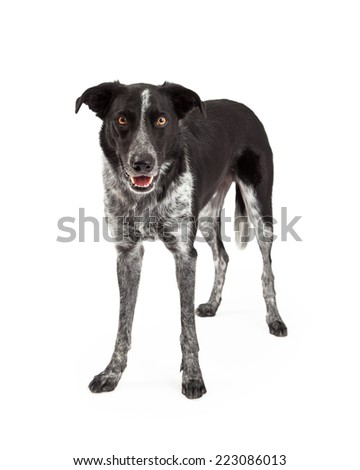 A cute black and grey color Border Collie dog standing up and looking forward with a happy expression and mouth open - stock photo