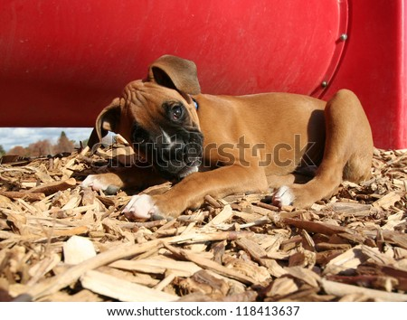 a cute boxer puppy at a dog park - stock photo