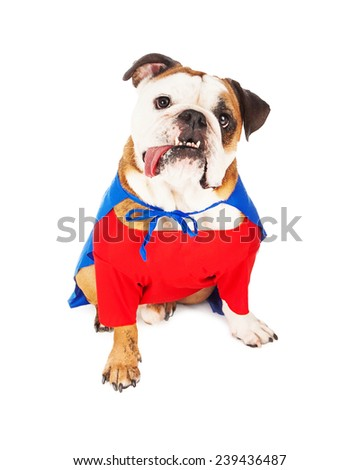 A cute Bulldog dressed as a superhero character with a red shirt and blue cape - stock photo