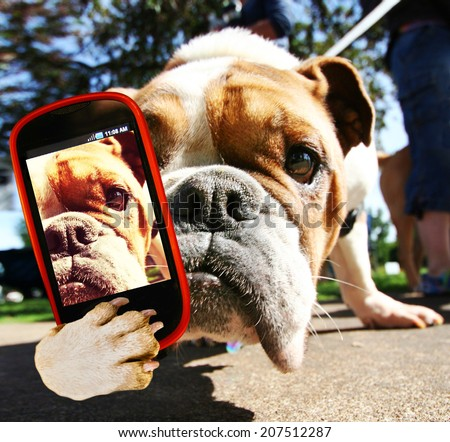 a cute bulldog taking a selfie with a cell phone - stock photo