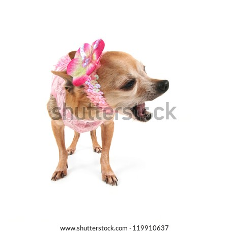 a cute chihuahua - stock photo