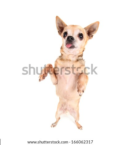 a cute chihuahua begging - stock photo