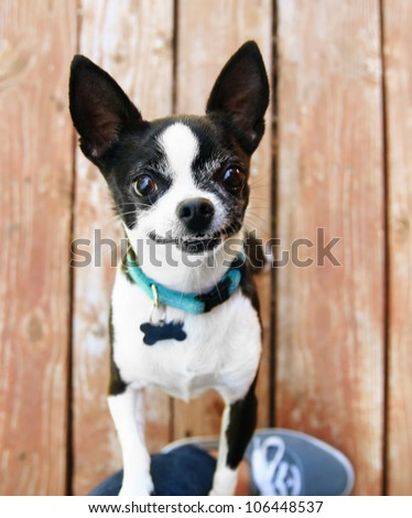 a cute chihuahua begging to be picked up and held - stock photo