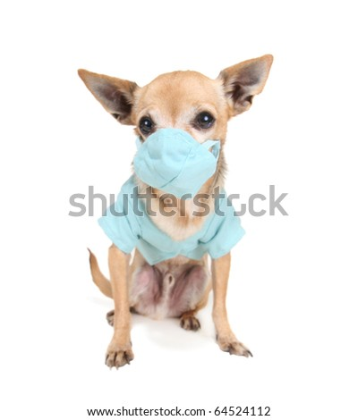 a cute chihuahua dressed in tiny scrubs - stock photo