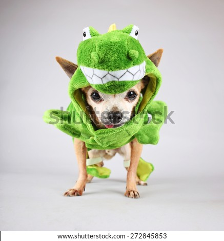 a cute chihuahua dressed up in a green dinosaur or a lizard costume isolated on a gray background  - stock photo