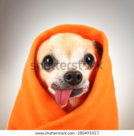 a cute chihuahua eith his tongue hanging out and a blanket wrapped around him isolated on a while background in the studio - stock photo