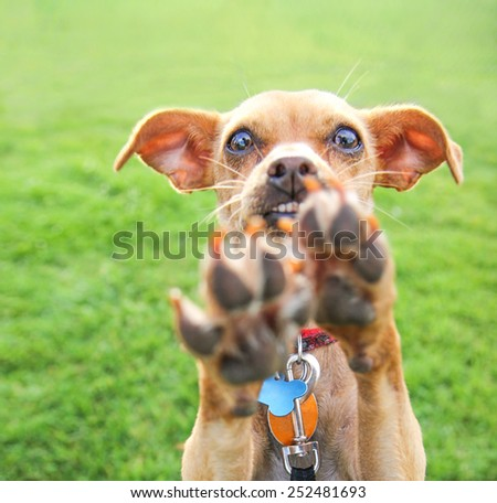 a cute chihuahua enjoying the outdoors on a summer day - stock photo