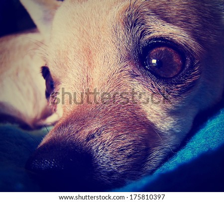 a cute chihuahua face done with a retro vintage instagram filter - stock photo