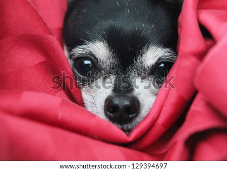 a cute  chihuahua in  a blanket looking at the camera - stock photo
