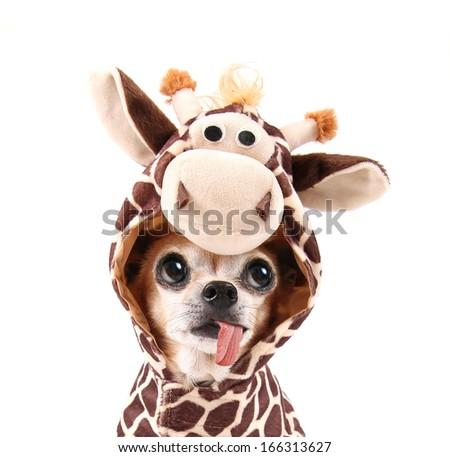 a cute chihuahua in a costume - stock photo