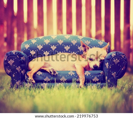 a cute chihuahua laying on a couch toned with a retro vintage instagram filter - stock photo
