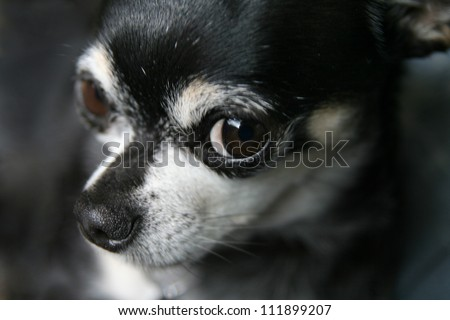 a cute chihuahua looking at the camera - stock photo