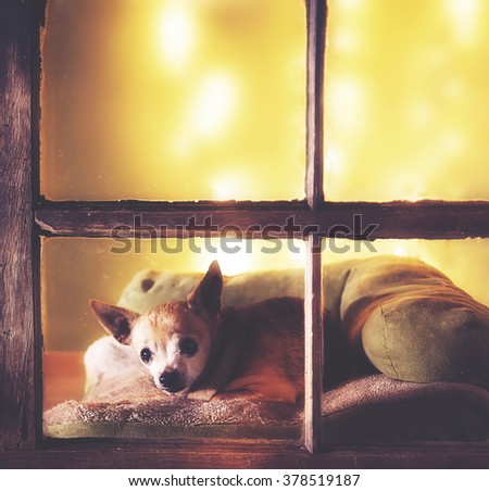 a cute chihuahua looking out a dirty weathered old window in a christmas setting  - stock photo
