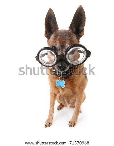 a cute chihuahua mix with giant glasses on - stock photo