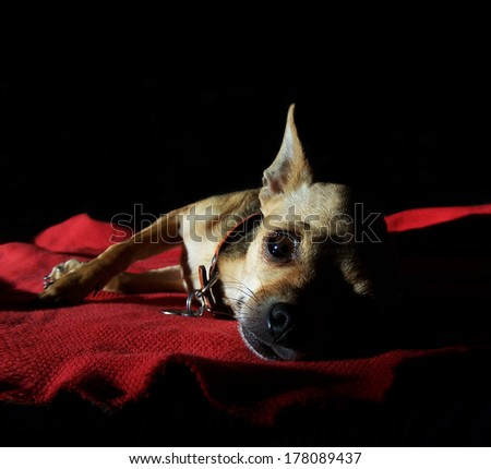 a cute chihuahua napping in the sun - stock photo