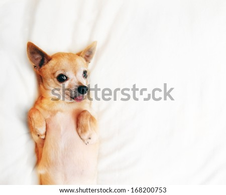 a cute  chihuahua on a blanket with his tongue out - stock photo