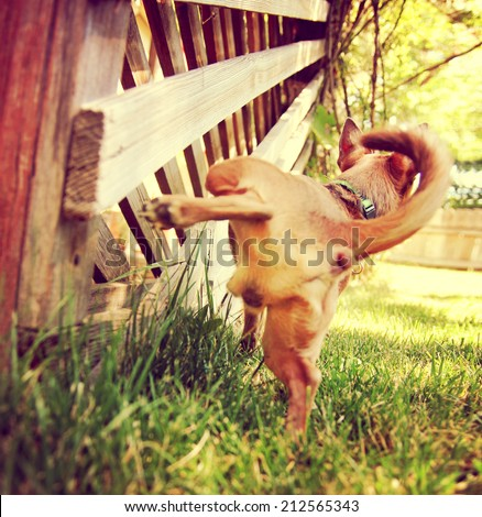a cute chihuahua peeing on a gazebo lattice outdoors on a summer day toned with a retro vintage instagram filter effect  - stock photo