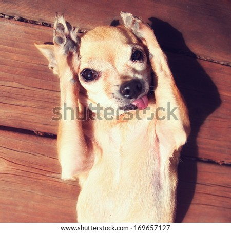 a cute chihuahua rubbing his paws on his face in the sun - stock photo