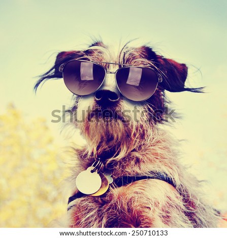 a cute chihuahua terrier mix toned with a retro vintage instagram filter with sunglasses on - stock photo