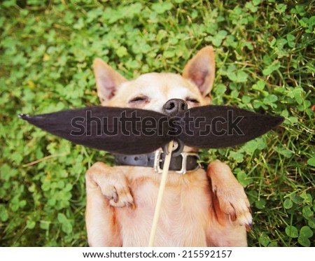 a cute chihuahua toned with a mustache in the grass - stock photo