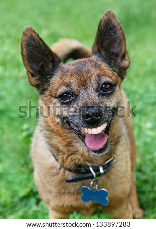 a cute chihuahua with a big smile - stock photo