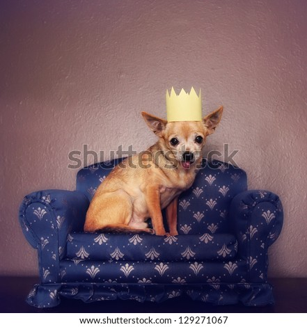 a cute chihuahua with a crown on sitting on a couch - stock photo