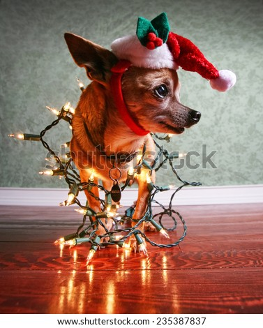 a cute chihuahua with a santa hat and christmas lights on  - stock photo