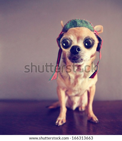 a cute chihuahua with big eyes - stock photo