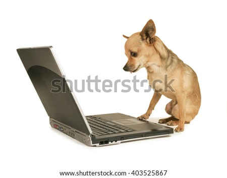 a cute chihuahua with his paw on a laptop computer looking at the screen isolated on a white background - stock photo