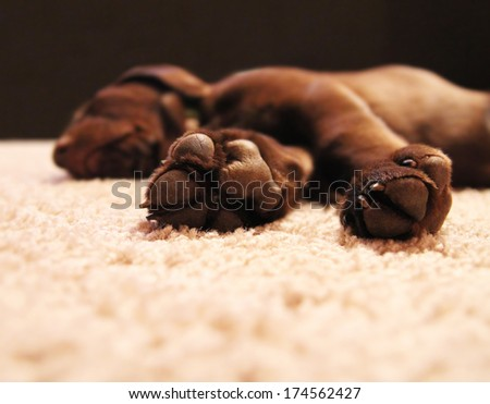 a cute chocolate lab puppy sleeping in a house with shallow depth of field (focus on the feet) - stock photo